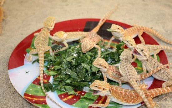 What Kinds of Food Does a Baby Bearded Dragon Eat?