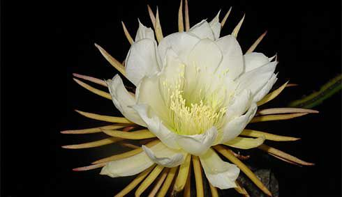 The Moonflower Is A Beautiful Night Blooming Pleasant Smelling Flower That Grows Best In Americas As Name Suggest Moonflowers Open At Dusk