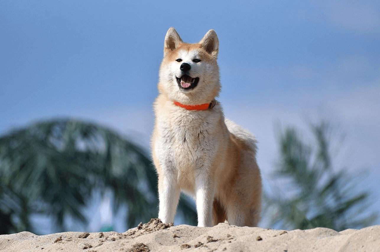 Basic Information About American Akita Dog